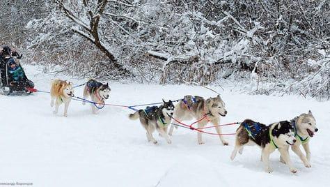 Катание на собачьей упряжке, невероятно милые фотосессии и прогулки с Самоедами и Хаски со скидкой 50% на природе от